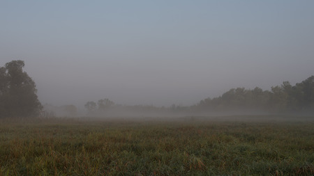 largely: A marsh made up largely of reed canarygrass, bordered by trees and covered in misty fog.