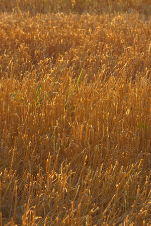 winter wheat: Close up of the golden stem straw of a cut winter wheat crop in the warm morning light. Wisconsin farm field. Stock Photo