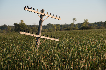 tipped: Old power line or telephone line pole tilting over in wetland filled with cattails.  The lines cling to the antique insulators, but are draped on the ground. Stock Photo