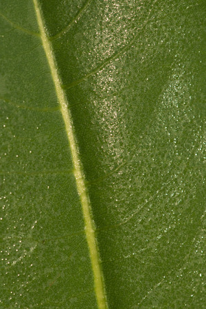 remnant: Close up of the vanes and shiny resin and dew droplets on the leaf of a Prairie Dock (Silphium terebinthinaceum )plant, found growing in a Wisconsin tallgrass prairie remnant
