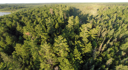 aerial photograph: Eastern White Pines viewed from the air in the northern forest.