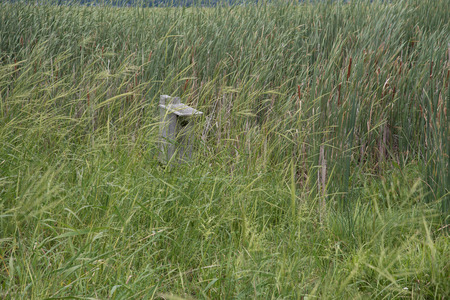 thick growth: In a wetland hidden behind thick growth of wild rice (Zizania sp.), and important water fowl food, is a wood duck nesting box.
