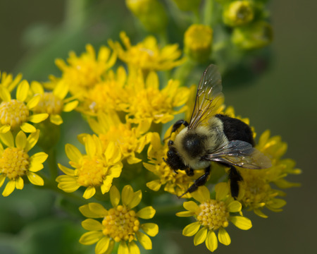 A wild bumblebee (Bumbus) feeds on nectar and pollenates a Stiff Goldenrod (Solidago rigida) flower.