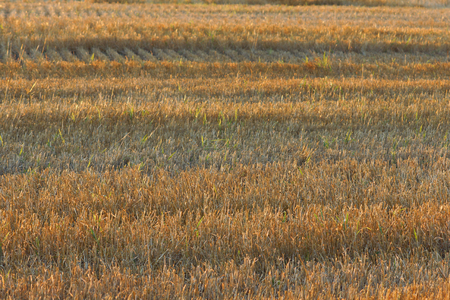 winter wheat: Golden stem straw of a cut winter wheat crop in the warm morning light. Wisconsin farm field.