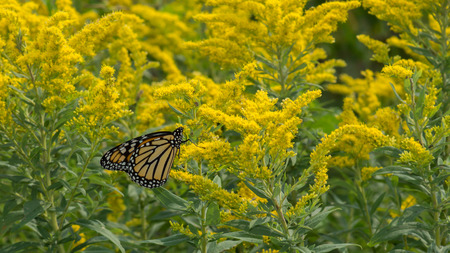 goldenrod: Goldenrod wildflowers being pollenated by a feeding Monarch Butterfly (Danaus plexippus) on its migration journey.