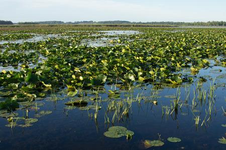 수련 패드 얕은 호수의 산의 표면을 커버. 이 두꺼운 식물은 물고기와 야생 동물을위한 좋은 서식지입니다.