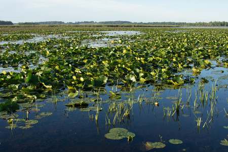 backwater: Water lily pads cover the surface of a backwater of a shallow lake.  This thick vegetation is good habitat for fish and wildlife.