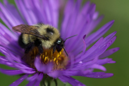 bumblebee: A bumblebee visits a New England Aster (Symphyotrichum novae-angliae) at a Wisconsin Tallgrass Prairie. Stock Photo