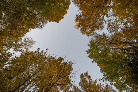 acer saccharum: Looking straight up into the sky and canopy of the Sugar Maple (Acer saccharum) trees, and their leaves in full fall colors. Stock Photo