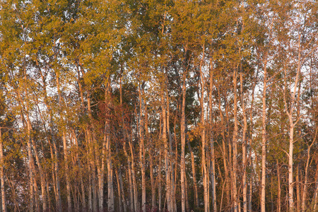 The early morning light on the white bark on Trembling Aspen (Populus tremuloides) Stock Photo