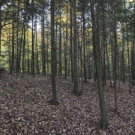 A forest of young Balsam Fir (Abies balsamea) Trees on a small hillside. 免版税图像