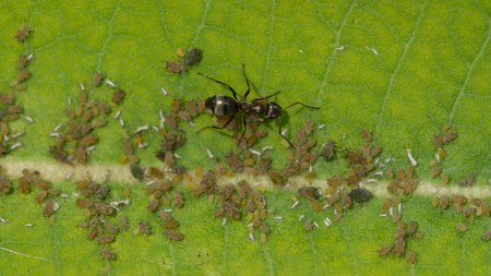 HONEYDEW: Aphids feed on the plant sap of a Common Milkweed plant while a colony of ants collect honeydew from the aphids like farm animals. Stock Photo