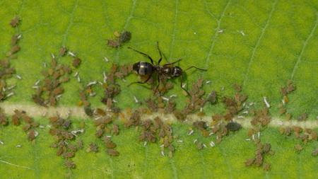 Bladluizen voeden op de plant sap van een gemeenschappelijk Milkweed fabriek, terwijl een kolonie mieren honingdauw van bladluizen zoals boerderij dieren te verzamelen.
