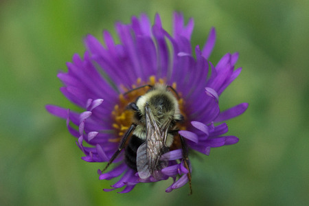 A bumblebee visits a New England Aster (Symphyotrichum novae-angliae) at a Wisconsin Tallgrass Prairie. Stock Photo