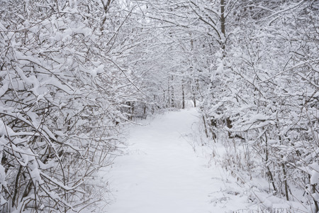A hiking trail cutting through snow-covered trees and shrubs after a snowstorm.