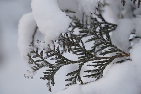 During the night snow accumulated on everything, including the needles of this Northern White Cedar Thuja occidentalis. Stock Photo