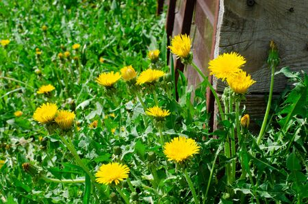 dandelions and green grass on the ground in the garden