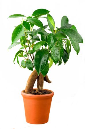 ficus:  Bonsai Ficus Tree With Water drops isolated