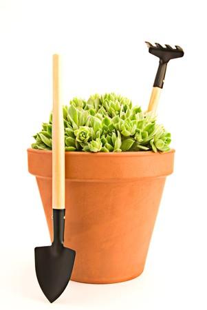 Beautiful green sempervivum in a pot and garden tools photo