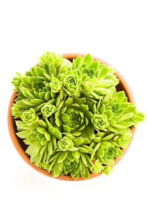 Close up beautiful green sempervivum in a pot  photo
