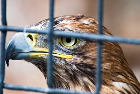Close up eagle inside cage. Shallow depth of field photo