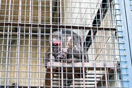 sad monkey prisoned in cage photo