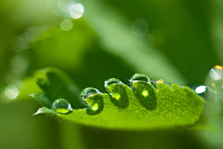 Macro of morning dew and small unknown creature on fresh leaf. Shallow depth of field photo