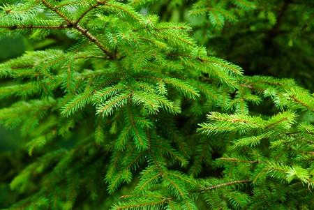Base natural de ramas de árbol de abeto verde fresco Foto de archivo