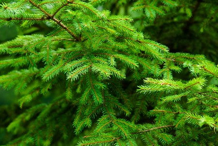 Fresh green fir tree branches natural background Stock Photo