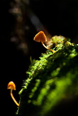 Macro van twee kleine giftige paddestoelen in forest over natuurlijke donkere achtergrond. SDOF