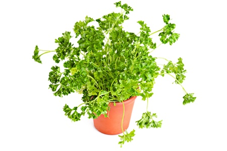 fresh parsley growing in terracotta flower pot over white background photo