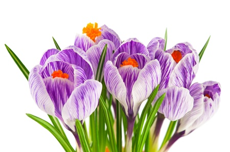 Macro of blooming spring crocuses isolated on white background photo