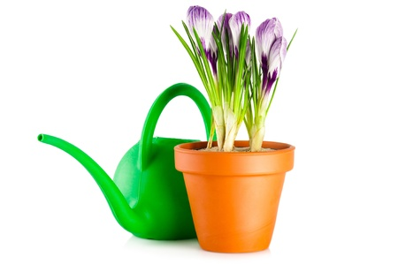 Blooming violet crocuses in terracotta flower pot and watering can on white background photo