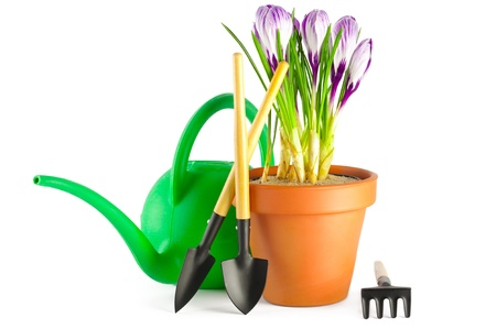 Blooming violet crocuses in terracotta flower pot and garden tools on white background photo