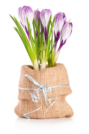 Blooming violet crocuses in canvas sack with blue ribbon on white background  photo