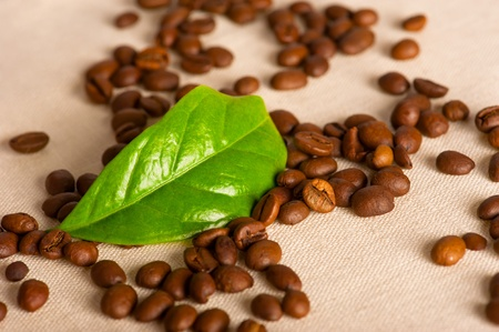 Coffee beans and green leaf of coffee plant on linen canvas photo