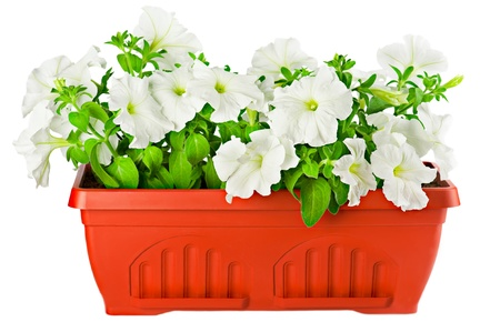 flower pot: Beautiful white petunia in terracotta flower pot isolated on white Stock Photo