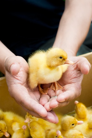 Man holding cute duckling in hands photo