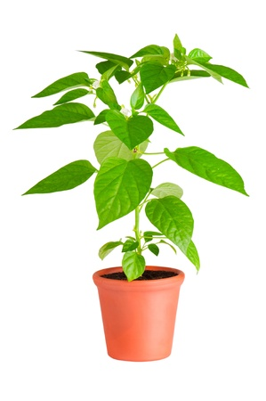 plant pot: Chili pepper plant with white flowers growing in ceramic pot  Stock Photo