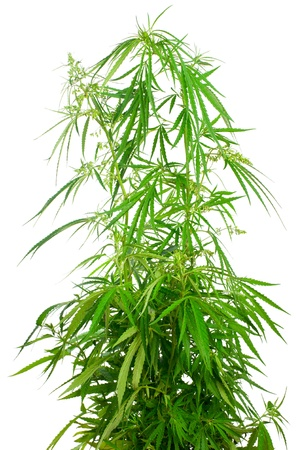 plant drug: Cannabis sativa. Marijuana plant isolated on white background