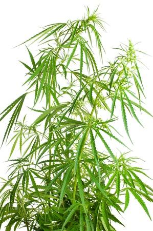 sativa: Cannabis sativa. Marijuana plant isolated on white background