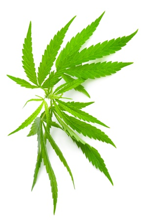 Cannabis sativa. Marijuana leaf isolated on white background