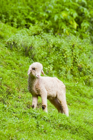 merino: Baby sheep in a pasture of green grass Stock Photo
