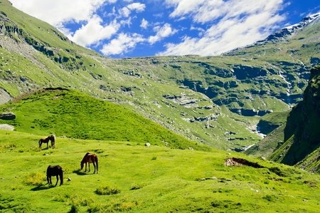 Wild horses on meadow in Himalaya mountains photo