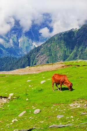 Wild red cow on meadow in Himalaya mountains Stock Photo - 11227830