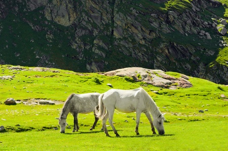 pasturage: Wild horses on meadow in Himalaya mountains