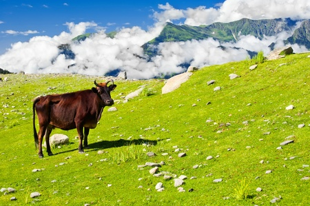 Wild cow on meadow in Himalaya mountains photo