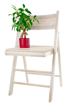 ficus: Bonsai ficus tree in flower pot and old painted garden chair isolated on white background