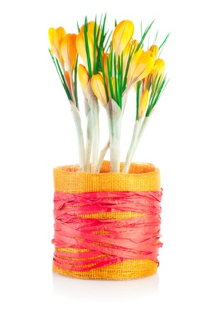 Spring crocuses. Textile pot with yellow flowers isolated on white background photo