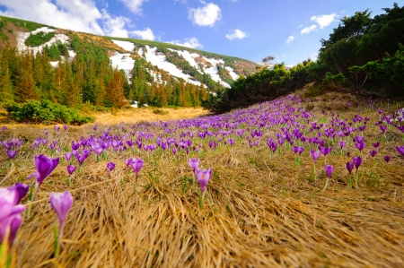Wild spring crocuses growing at mountain valley landscape over blue sky photo